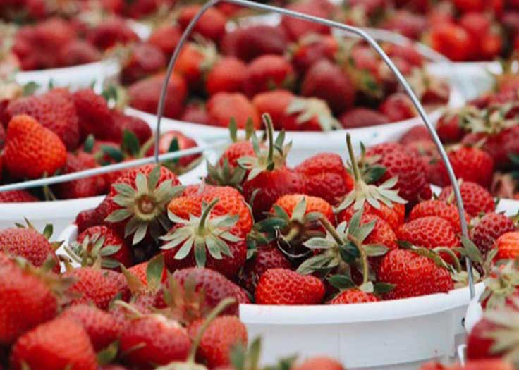 Strawberry U Pick Johnsons Farm Hobart IN
